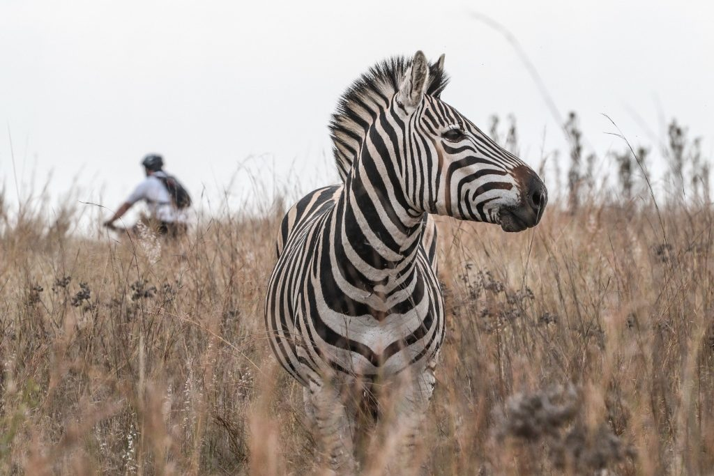 A Cradle Moon Game Reserve zebra stands statuesque while a mountain biker passes behind it during Stage 2 of the Glacier Cradle Traverse, on Saturday the 6th of May 2017. Photo by Oakpics.com.