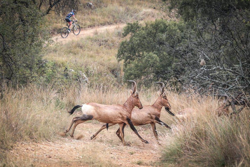 A herd of red hartebeest race across the mountain bike route during Stage 2 of the Glacier Cradle Traverse, on Saturday the 6th of May 2017. Photo by Oakpics/Cradle Traverse/Sportzpics.